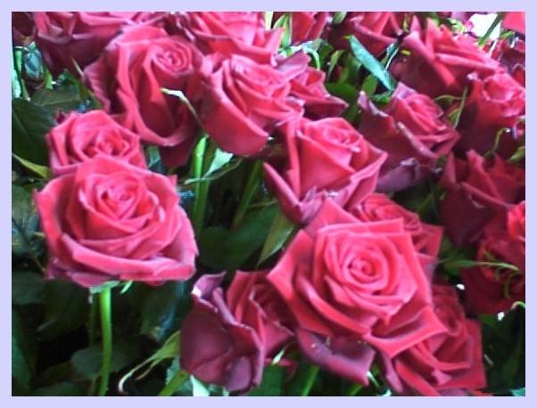 Alsace strasbourg fleurs de rome photos galerie for Parterre de roses photos